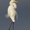 Eastern Great Egret (Ardea modesta)