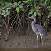 Great-billed Heron©David Stowe-3961