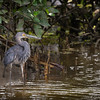 Great-billed Heron©David Stowe-4077