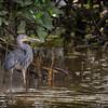 Great-billed Heron©David Stowe-4077