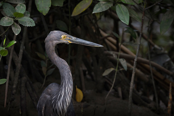Great-billed Heron©David Stowe-4109