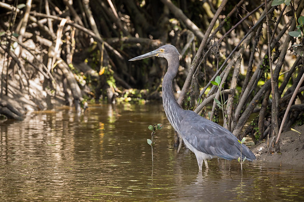 Great-billed Heron©DavidStowe-4025