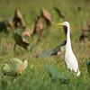 Intermediate Egret ©David Stowe-4409