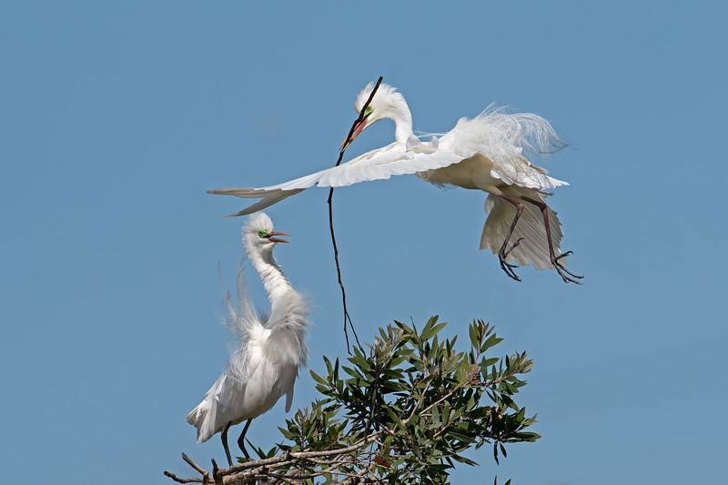 Intermediate Egrets (Ardea intermedia)
