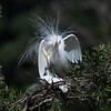 Intermediate Egrets mating (Ardea intermedia)