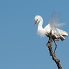 Intermediate Egret (Ardea intermedia)