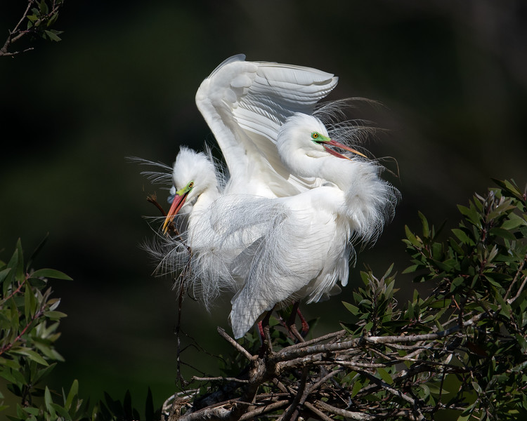 Intermediate Egrets (Ardea intermedia)