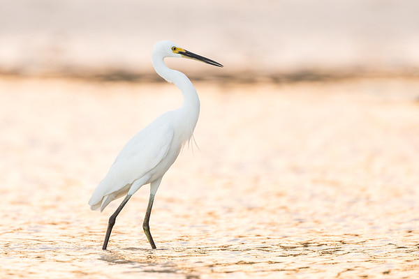Little Egret_DS_7015