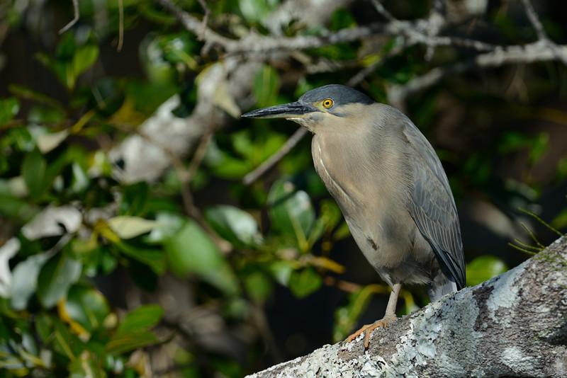 Striated Heron (Buturides striatus)