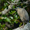 Striated Heron (Buturides striatus)
