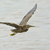 Juvenile Striated Heron (Butorides striata)