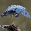 White-faced Heron (Ardea novaehollandiae)