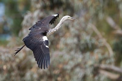 """White-necked Heron in flight """"Bowra"""" QLD, Australia"""
