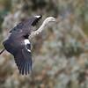 """White-necked Heron in flight<br /> """"Bowra"""" QLD, Australia"""