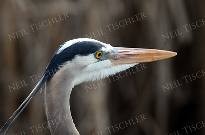 #982  Great Blue Heron portrait