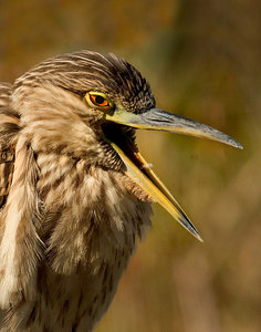 immature black crowned night heron cropped 11651 printed 11x14