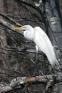 #595  A Common Egret scans a swamp from a tree.
