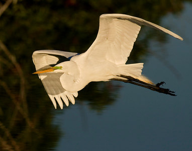 Great Egret Flying #1 printed 14x11-6019