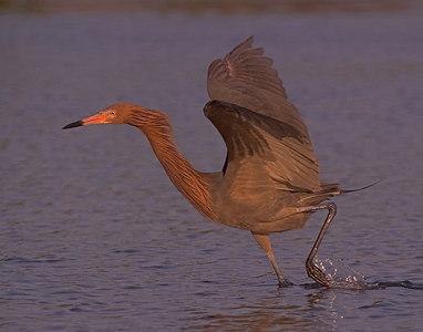 CRW_2074 reddish egret printed