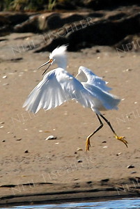 #624  A Snowy Egret makes itself look very large as it races toward another male Egret intruding on its territory.