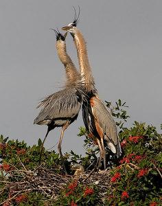 4802-Great Blue Heron family on nest