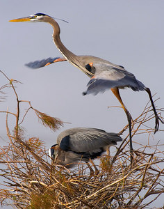 GreatBlueHeron-in-Flight_11x14-printed