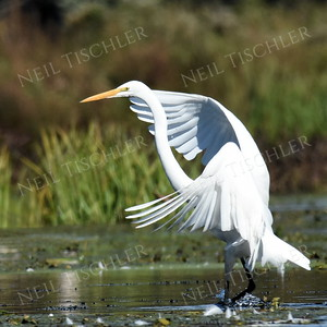 #1121  A Great Egret landing