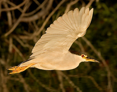 Black Crowned Night Heron in Flight-6048 14x11