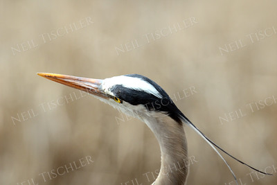 #958  A Great Blue Heron portrait
