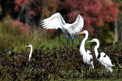 #1122  A flock of Great Egrets
