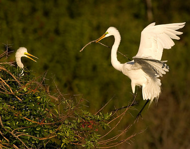Great Egret flying into nest with mate-6061