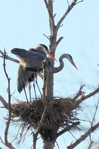 #1068  A pair of great blue herons attend to their nest high above a swamp.