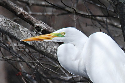 #583  Common Egret portrait