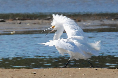 #616  A Snowy Egret makes itself look very large as it races toward another male Egret intruding on its territory.