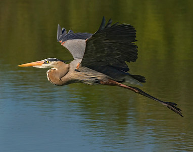Great Blue Heron in Flight#2-6459
