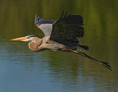 Great Blue Heron in Flight#2-6459