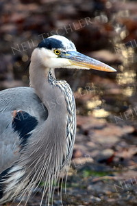 #931  A Great Blue Heron with dramatic neck braiding
