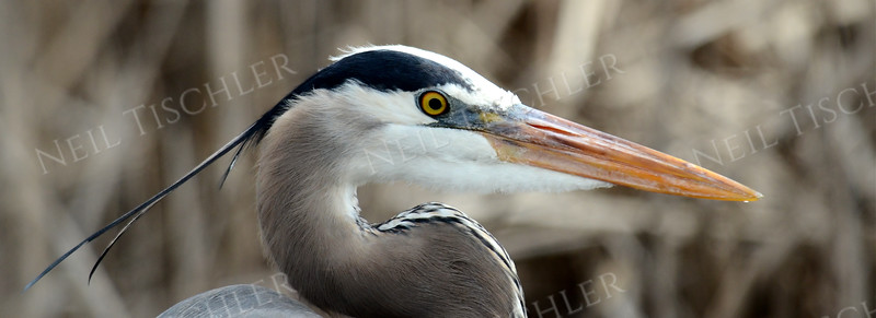 #957  Great Blue Heron portrait.    This is a panoramic crop with a ratio of 2.75 x 1.
