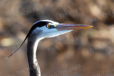 #808  We often see Great Blue Herons while kayaking on the Nashua River, downriver from Groton, Massachusetts.  Note the sunlight passing through its eye.
