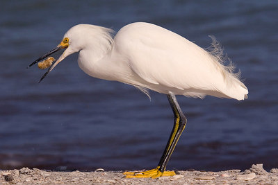 Snowy Egret printed-5137