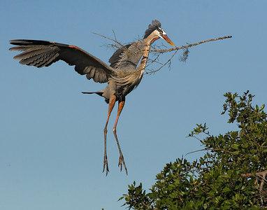 Great Blue Heron landing printed 14x11-6264