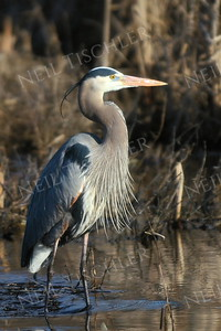 #1005  A Great Blue Heron