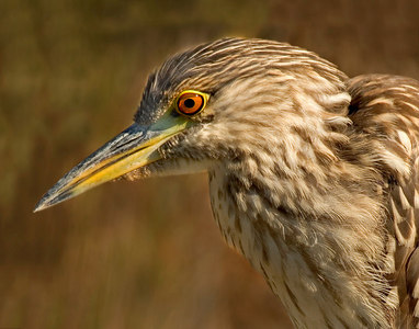 immature black browned night heron 11512 printed 14x11