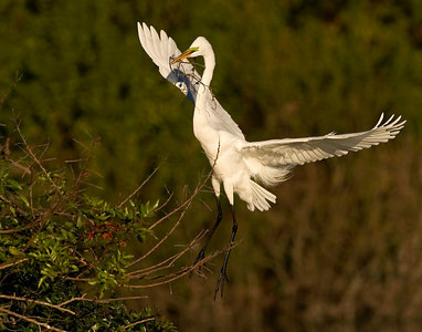 Great Egret landing onto nest-printed14x11-6084