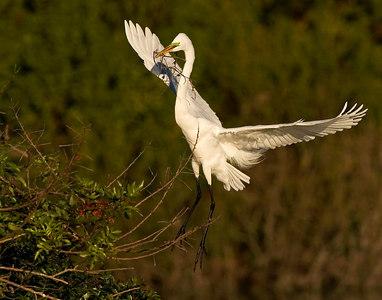 Great Egret landing onto nest-printed14x11-6084