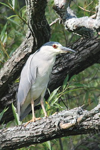 #699  A Black-crowned Night Heron