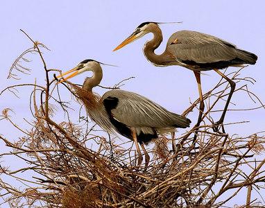 _MG_7828 great blue herons courting Wakodahachee