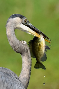 #1480  Great Blue Heron with speared fish