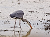 13 March 2011. Grey Heron at the Oysterbeds. Copyright Peter Drury 2011