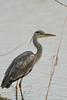 27 March 2015 Grey Heron (Ardea cinerea)